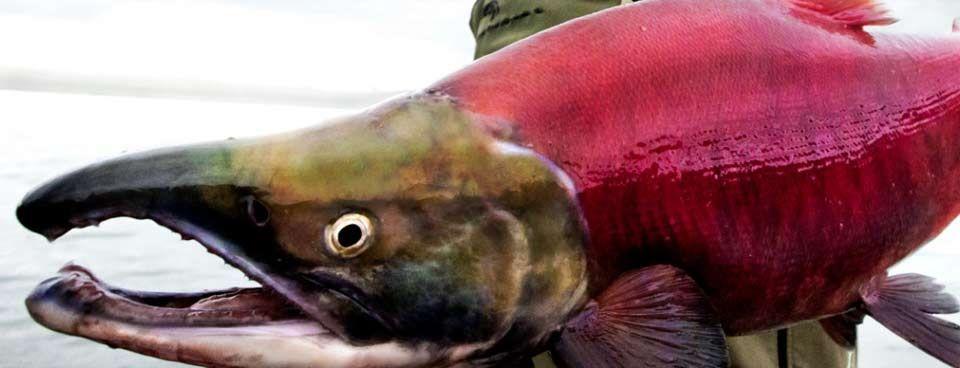 Alaska fishing lodges are hard to compare ideal fishing for Alaska fishing lodges all inclusive