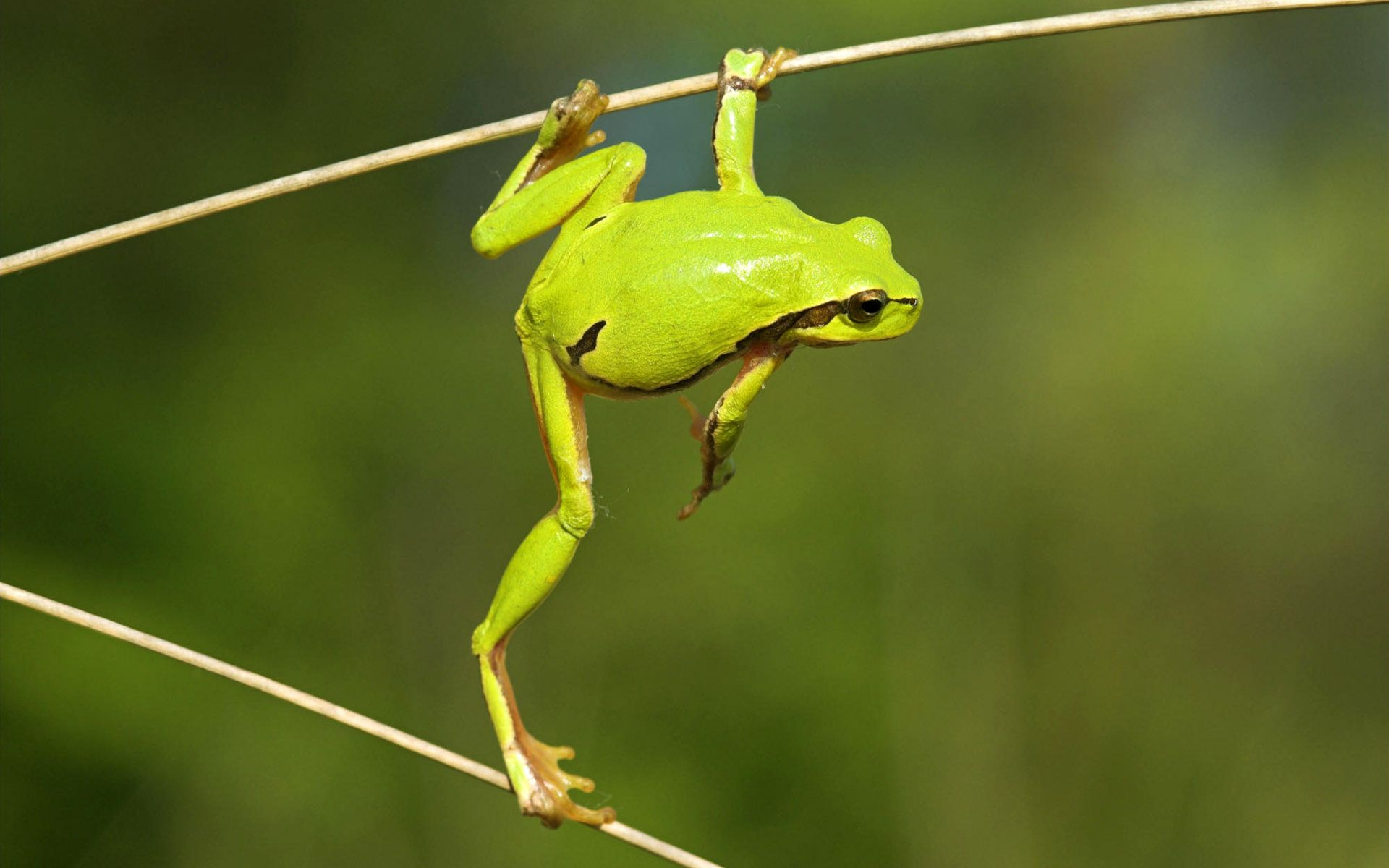 Laubfrosch Green Tree Frog Tree Frogs Frog