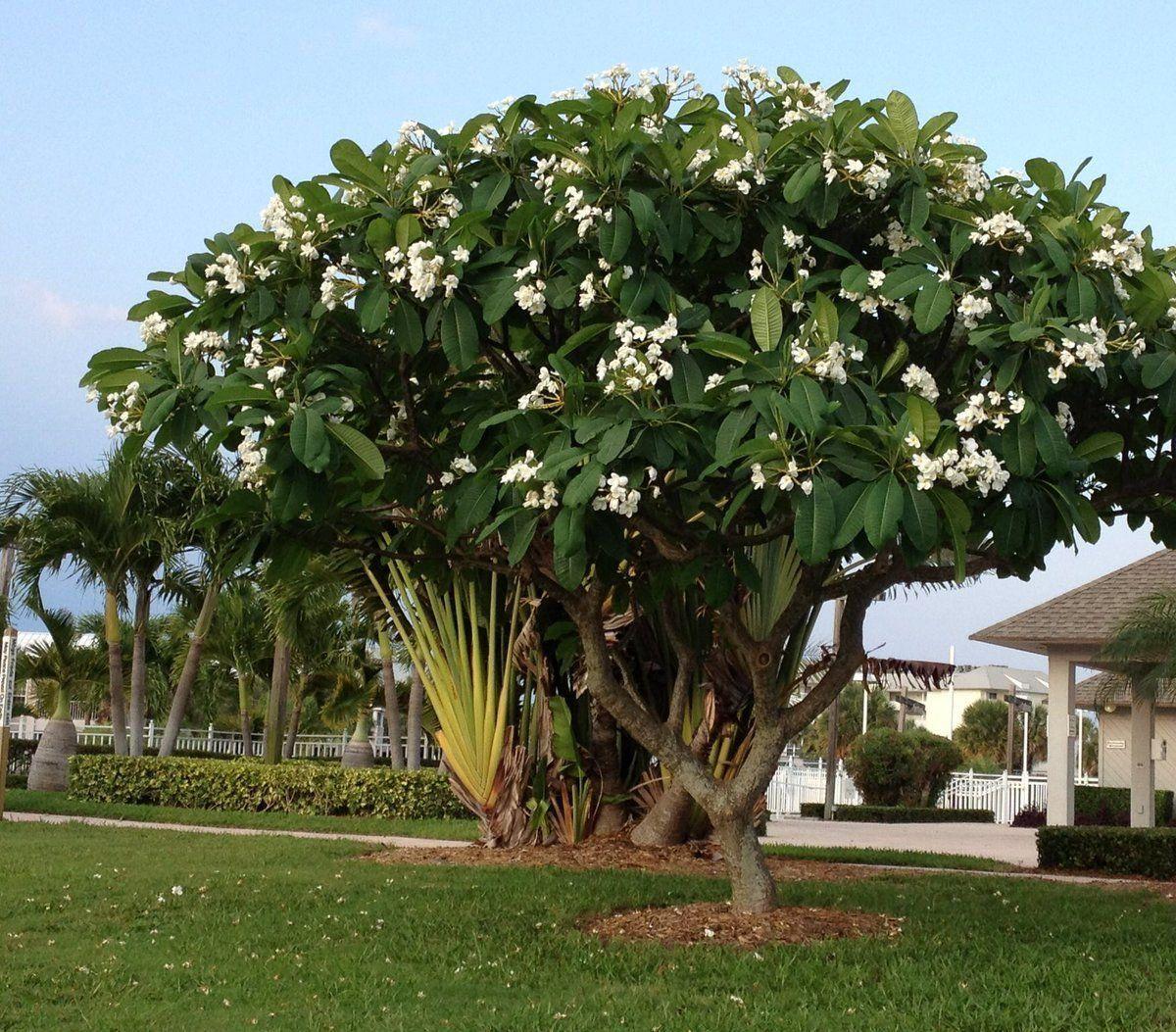 أشجار مزهرة مع الشمس الحارقة دورانتا تجي منها الوان سيسلبينيا وتسمى زهرة الطاؤوس جاتروفا هابيسكس الجهنمية أشجا In 2021 Frangipani Big Garden Ornamental Trees