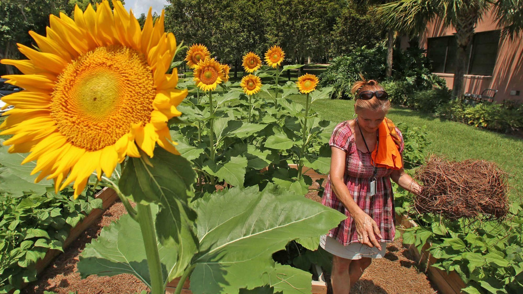 Plant Doctor Tom Maccubbin Gives Advice To Orlando Area Gardeners About Sunflowers Small Containers Liquid Fertilizer A Moving Plants Avocado Seed Sunflower