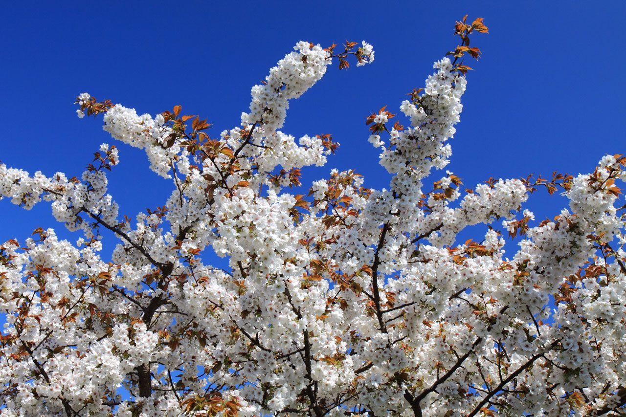 Cherry tree in blossom royalty free stock photos all pictures are