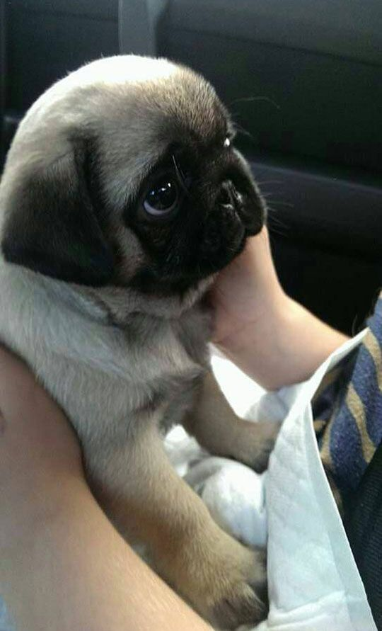 Probably The Cutest Baby Pug In Existence Baby Pugs Cute