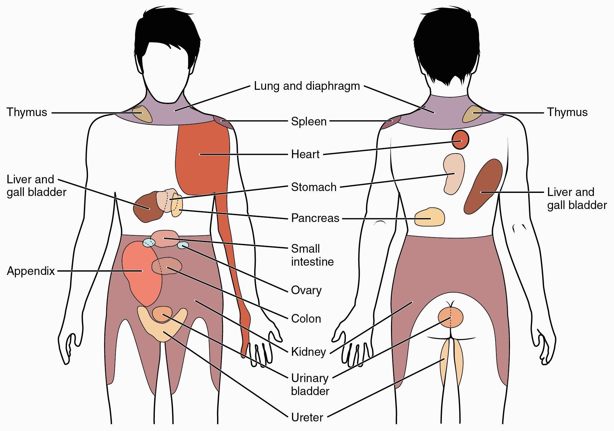 Anatomy Of Body Pain Liver Pain Location Diagram Anatomy Organ