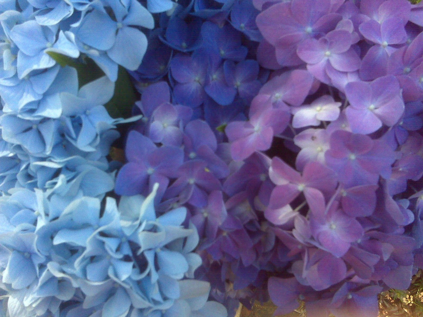 Purple Blue Hydrangeas With Lavendar Boquet For Weeks Now Here