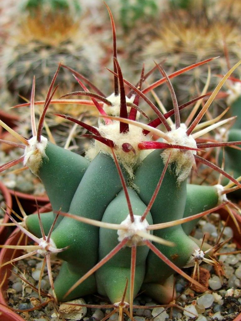 Ferocactus emoryi – Emory's Barrel Cactus, Traveler's Friend - See more at: http://worldofsucculents.com/ferocactus-emoryi-emorys-barrel-cactus-travelers-friend