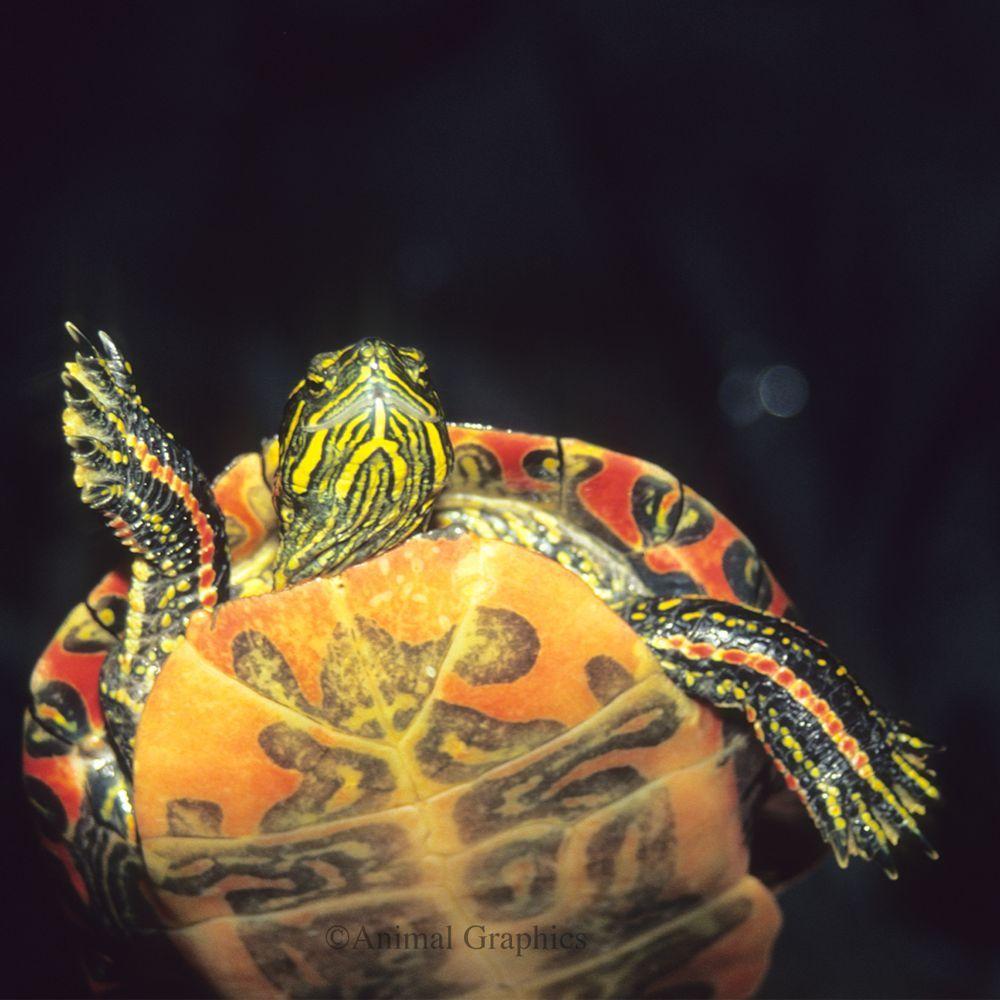 Painted Turtle Turtle Painting Reptiles Pet Turtle