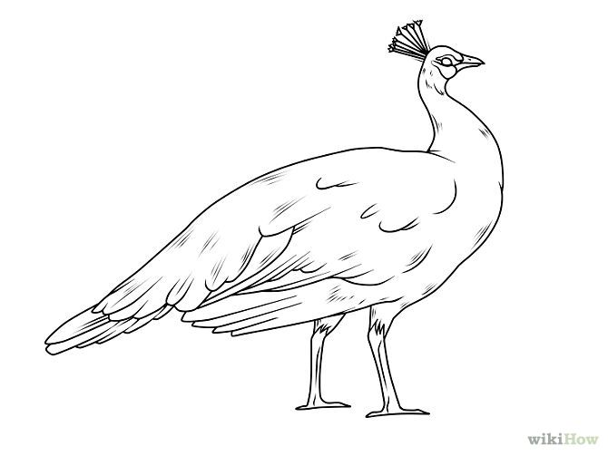 peahen sketch - Google Search in 2020 | Peacock drawing ...