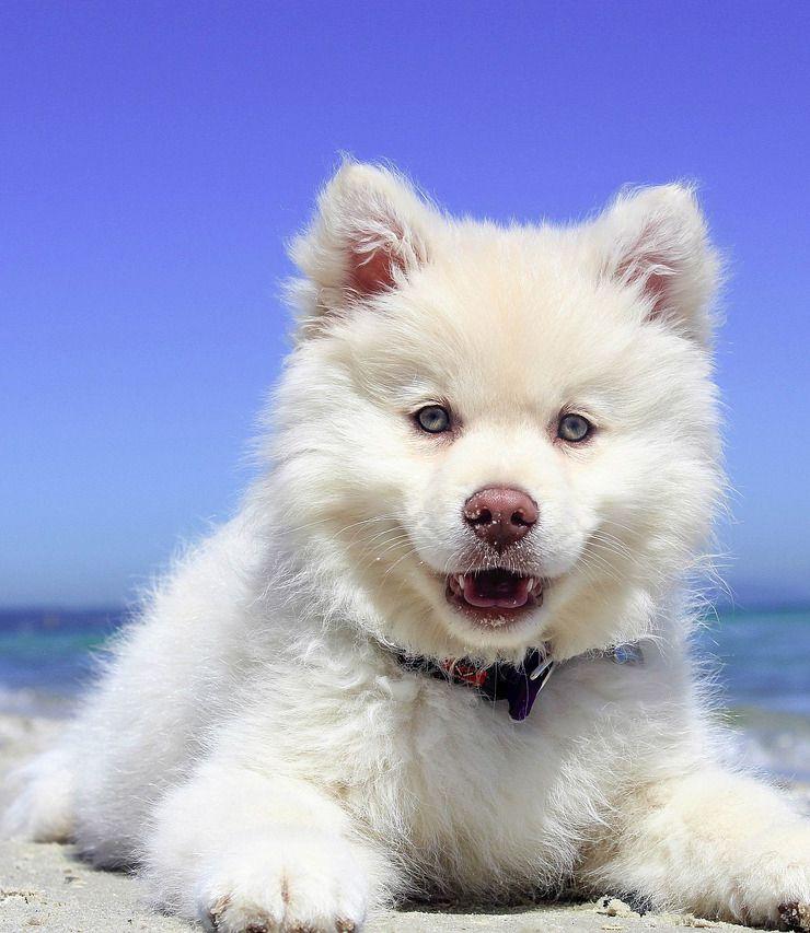 A Spitz Puppy Sits At Sea Puppy Training Dog Training Dog