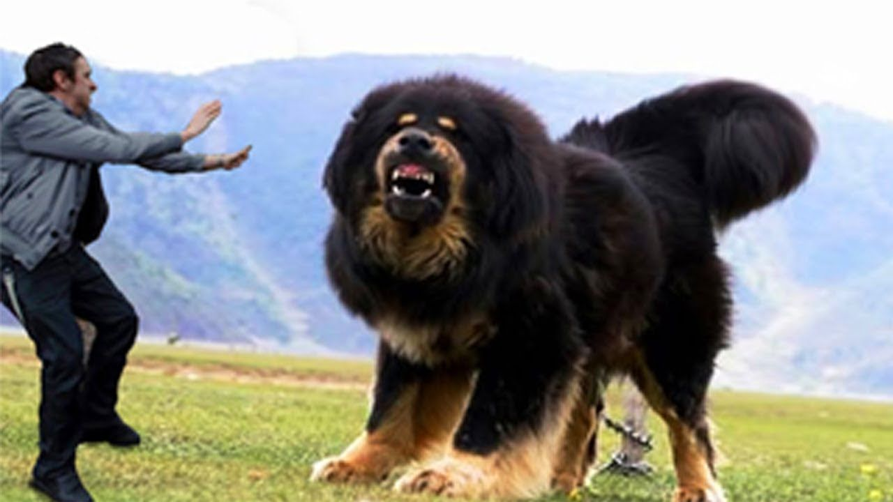 Pictures Of Largest Dogs In The World