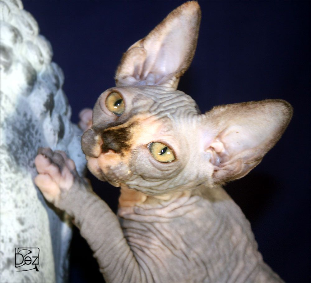 Tortie Hairless Sphynx Kitten www beeblebroxsphynx com