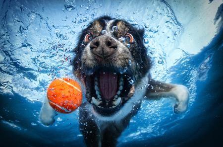 Het is niet het Monster van Loch Ness of een of ander eng onderwaterdier. Nee, deze foto's zijn toch echt gemaakt van honden!     De Amerikaanse fotograaf Seth Casteel dobberde uren in een zwembad in Los Angeles om foto's te maken van twaalf viervoeters die achter ballen aanzwommen. Zijn geduld werd dan ook zeker beloond met deze prachtige platen!
