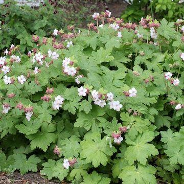 geranium macr 39 spessart 39 flockn va h jd 25 cm blomning sommar v xtplats l ttodlad perenn som. Black Bedroom Furniture Sets. Home Design Ideas