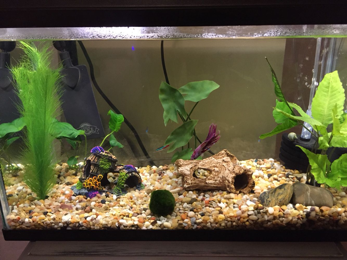 My 10 gallon tank includes 1 male betta 7 neon tetras 1 for Betta fish tanks petco
