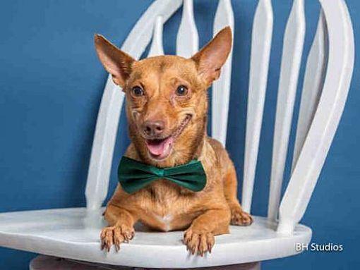 Houston, TX Dachshund. Meet STACY a Dog for Adoption