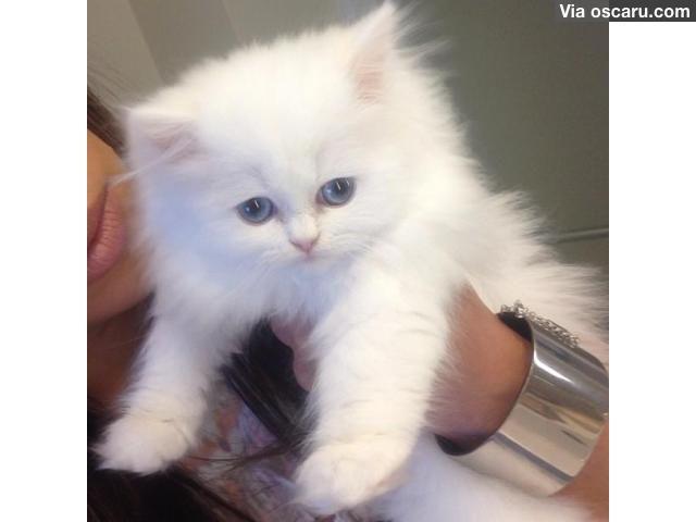 Persian kittens for sale Teacup kitten, White persian