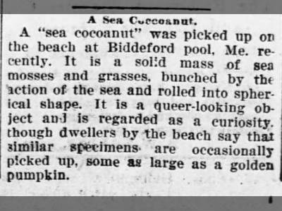 The Washington Bee (DC) 4 Mar 1899  Biddeford Pool, Maine. Curious object on beach...