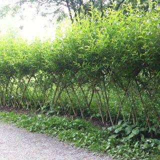 Very Cool Natural Fence Idea Fence Landscaping Garden Fence