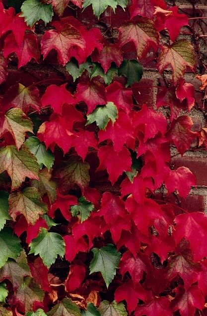 Boston Ivy A Popular Clinging Vine Has Brilliant Dark