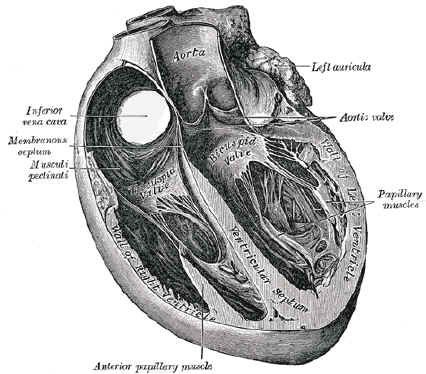 Grays Anatomy Anatomy Pinterest Anatomy Illustrations And