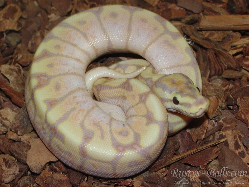 Banana Spider Ball Python By Rustys Balls Com Morphmarket Usa Ball Python Python Ball Python Morphs
