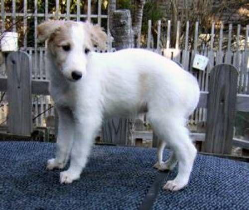 Russischer Windhund Barsoi Welpen Windhund Welpen Hunde Barsoi