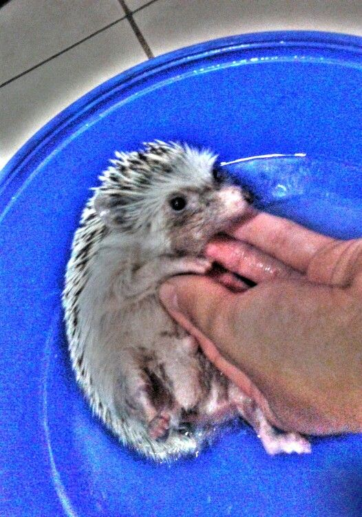 Tomando un baño calentito #hedgie #shower #animal #sweet