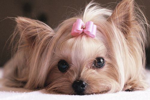 Yorkies  !!!  Isn't she the sweetest little thing???