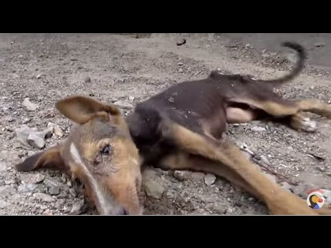 Puppy Rescue Puppy Collapses But Still Wags Tail For Rescuers