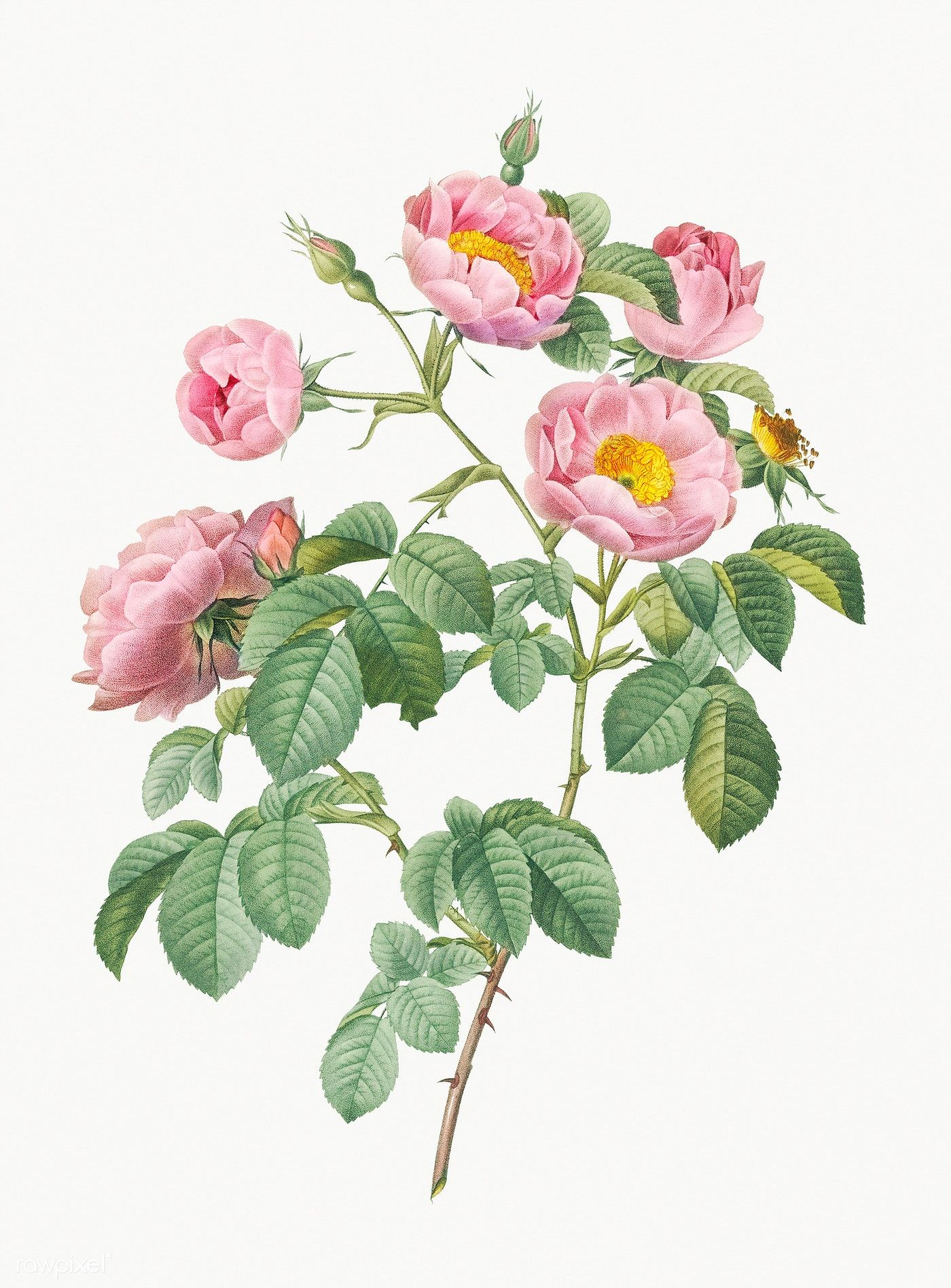 Download Premium Illustration Of Rosebush With Soft Leaves Illustration Rosebush Leaves Illustration Flower Illustration