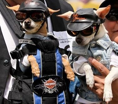 Share Your Photos And Videos Chihuahua Lover Chihuahua Cute Animals