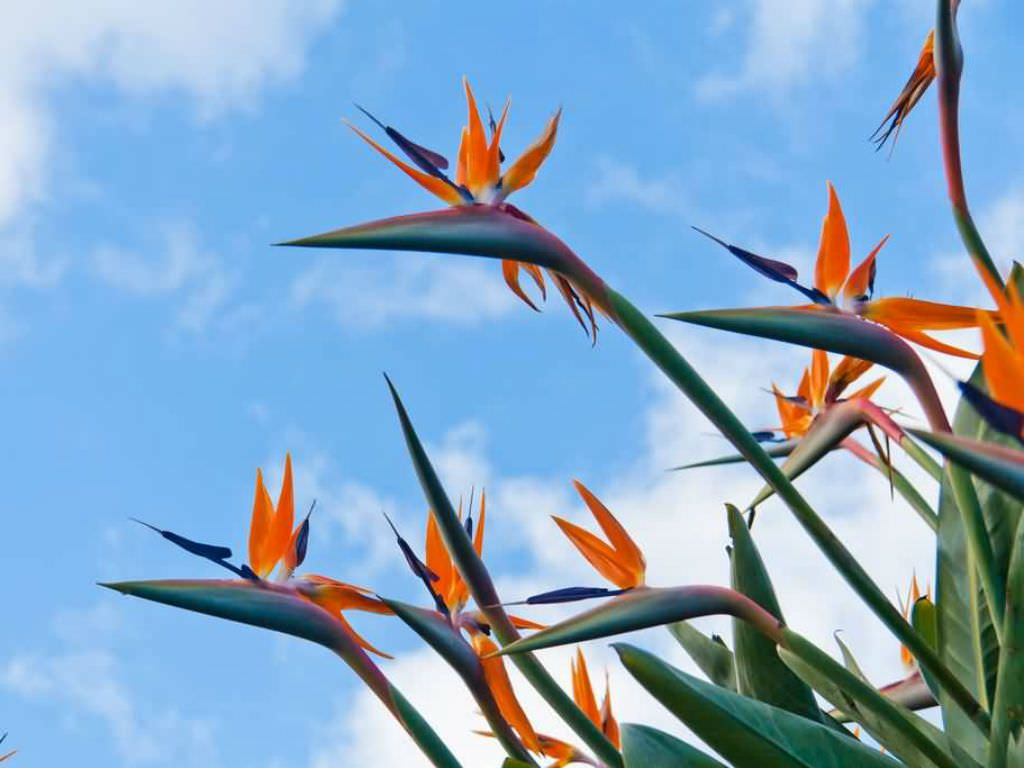 Bird Of Paradise Flower Meanings And Symbolism World Of Flowering Plants Birds Of Paradise Flower Birds Of Paradise Plant Birds Of Paradise