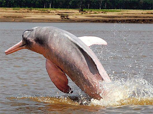 Pink Amazon River Dolphin Pink Amazon River Dolphin Amazon