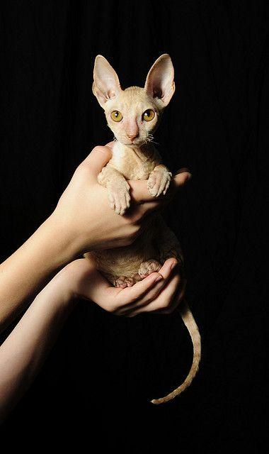 Kiwi For The Pet Sphynx Sphynx Cat Cornish Rex Cat