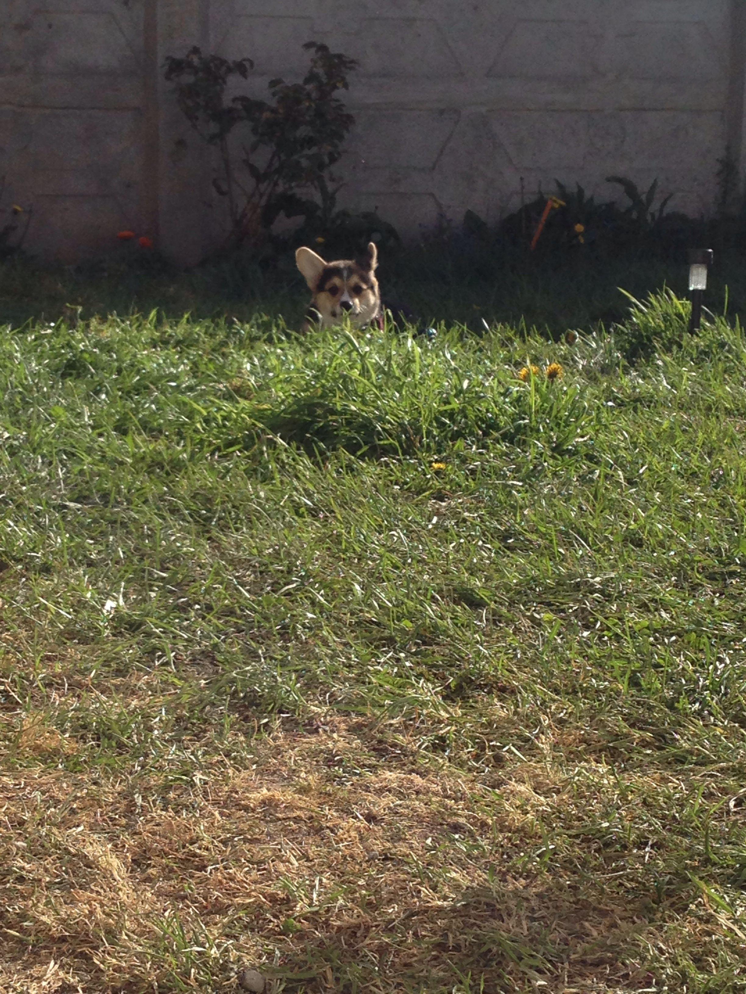 Corgi camouflage!!