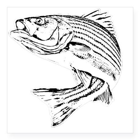 Striped Bass Square Sticker 3 X 3 By Crustyolddiver Stickers