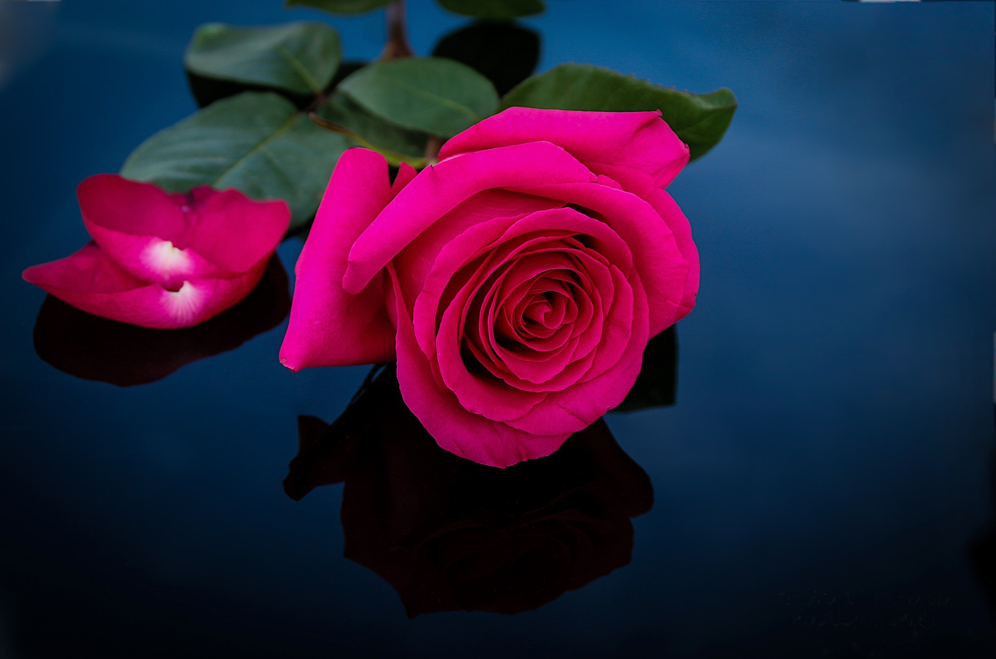 3337x2207 px rose wallpaper desktop by chapman wilkinson