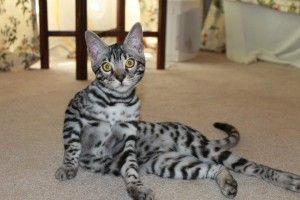 Lepardkind Bengals Orlando Fl Dragonfly Bengal Cat Bengals Cats