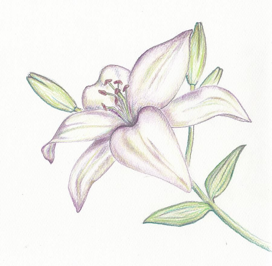 Uncategorized Drawing Of Lily lilies drawing google search flowers pinterest drawings search