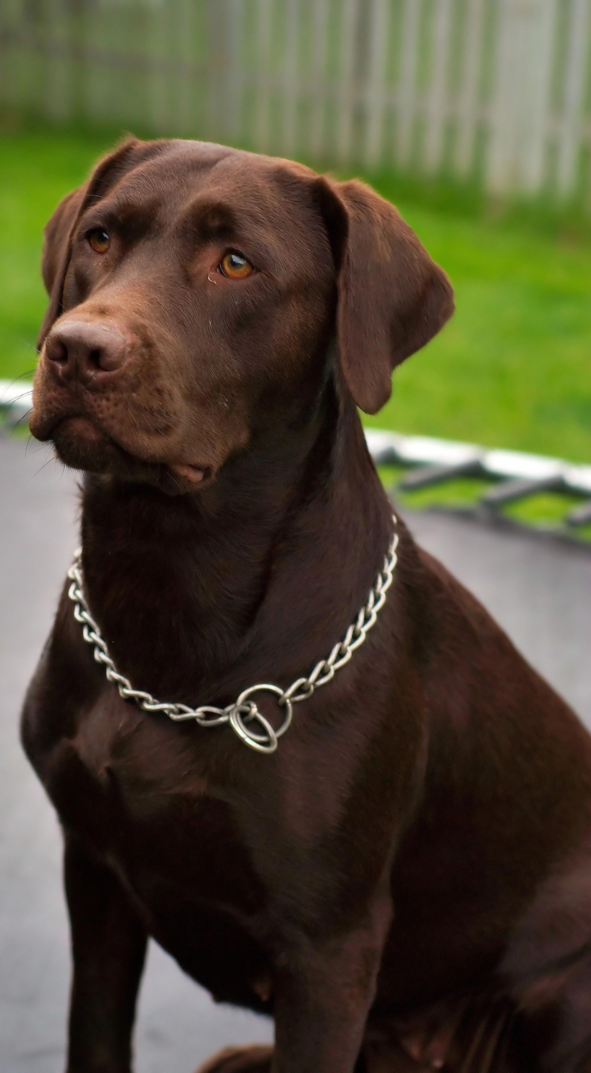 Dashing Dogs That Dont Shed Dogoftheday Dogsaccessoriestravel Labrador Dog Labrador Retriever Chocolate Labrador Retriever