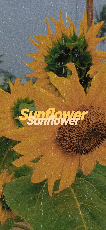 Sunflower=Sunshine #sunflowerwallpaper #sun #tumblr #aesthetic #sunflower,  #Aesthetic #Plant... #sunflowerwallpaper