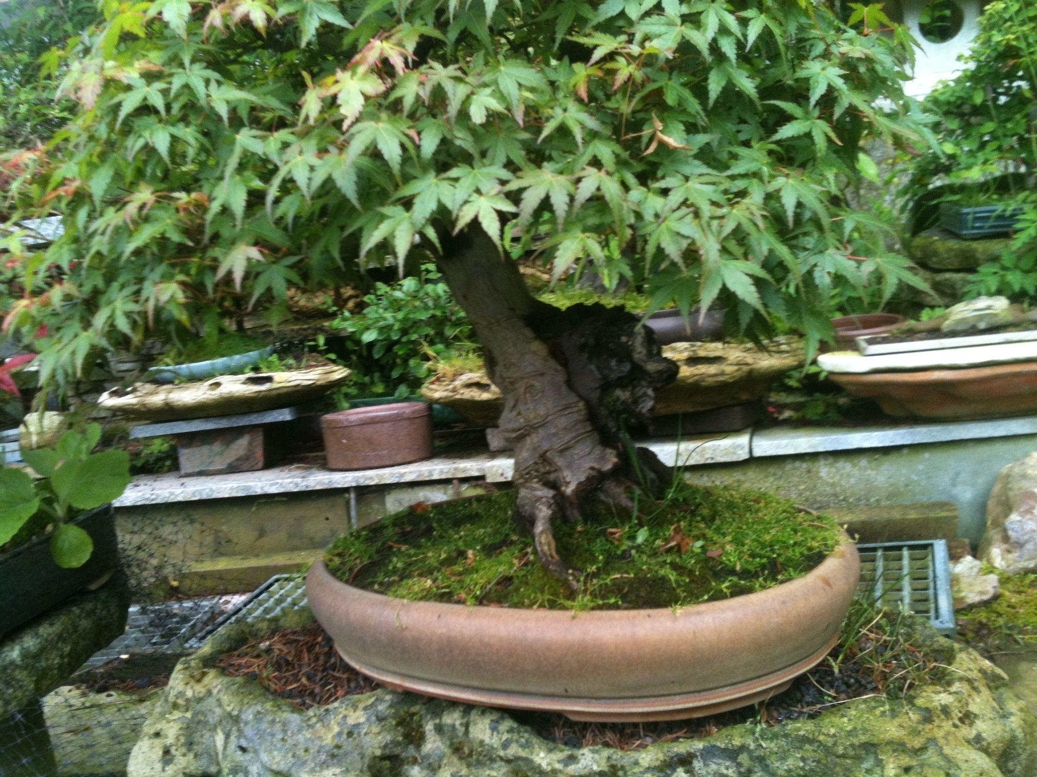 grüner Fächerahorn, in den ein Stein eingewachsen ist
