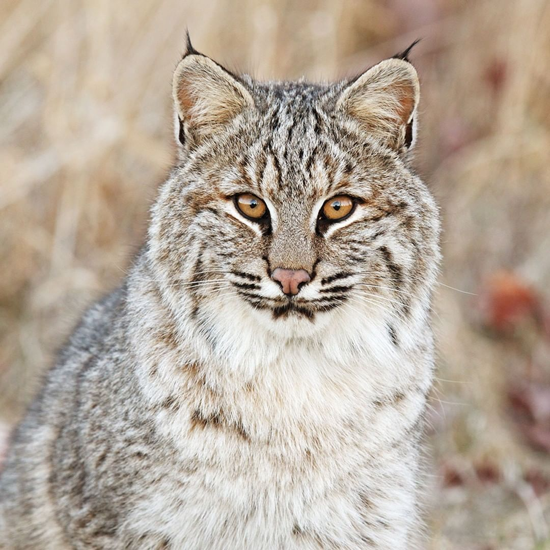 Look at that face! 😻 Meet the marvellous bobcat, the most