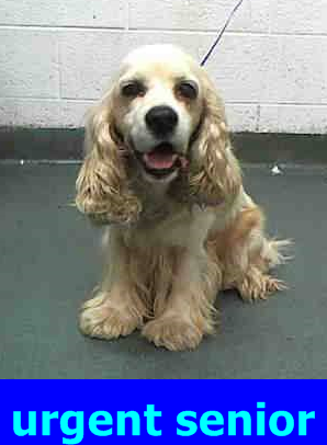 Safe Noah A1716512 I Am A Male White And Tan Cocker Spaniel The Shelter Staff Think I Am About 9 Years Old I Was Fou Cocker Spaniel Animals Find Pets