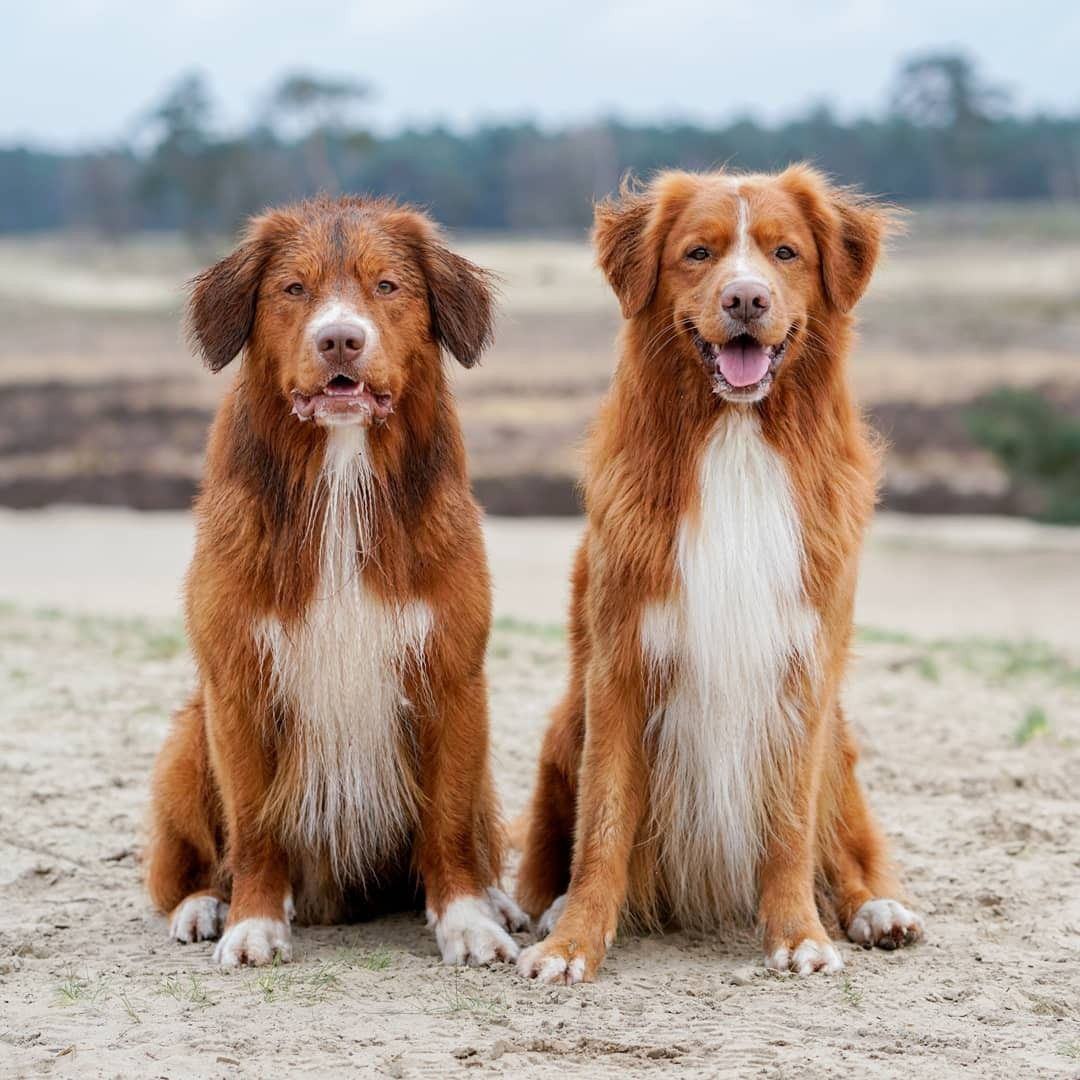 Happy Dogs In The Netherlands Wet And Curly Hairs Nova Scotia