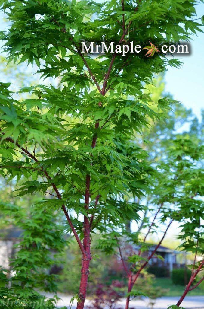 Acer Palmatum Beni Kawa Coral Bark Japanese Maple