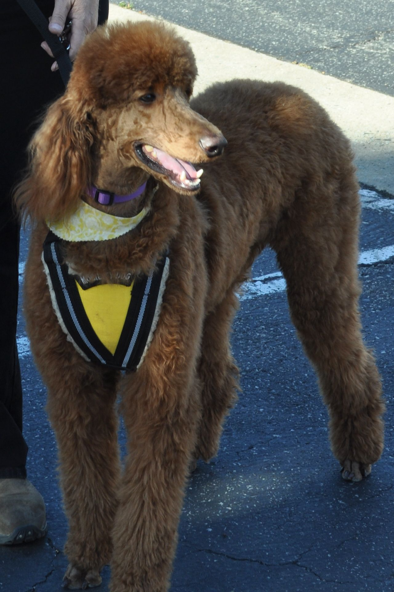 Red Standard Poodle Mobility Service Dog Poodle Dog Military