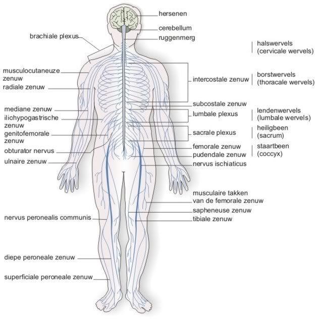 opbouw van de ruggenwervel  rug   hersenen zenuwbanen