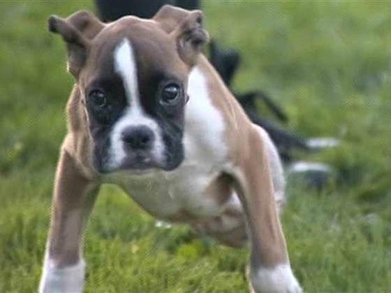 Happy Puppy Adapts To Two Legged Life Boxer Puppy Boxer Puppies Puppies