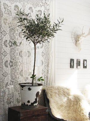 Oliivipuu (Olea europaea) - toivottavasti meidänkin oma pörhistyy taas talven jälkeen...