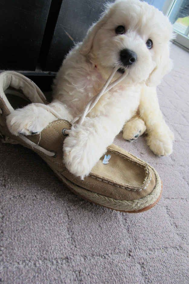 17 Puppies Who Are Little Troublemakers